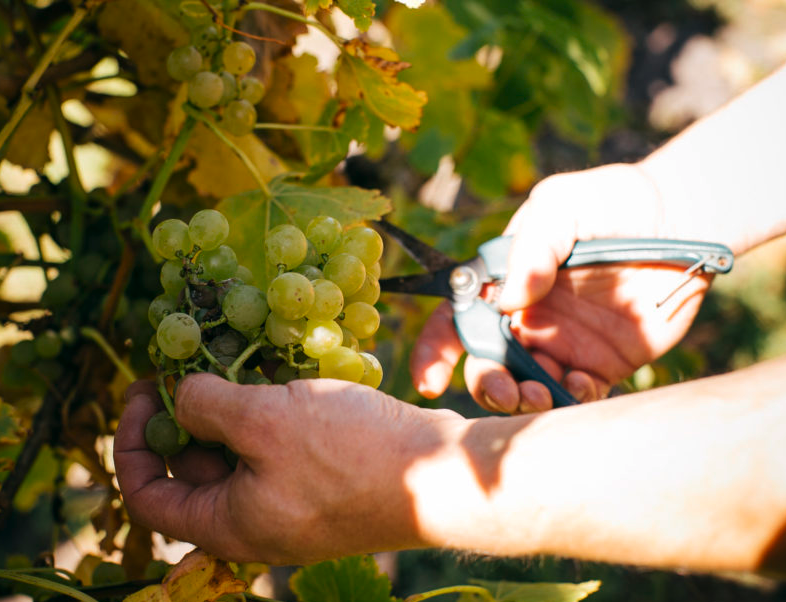 Hands cutting green grapes with grape sheers